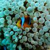 uk_rm_annemonenfische_01